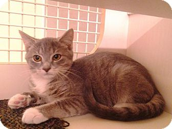 Domestic Shorthair Cat for adoption in Richmond, Virginia - Timothy
