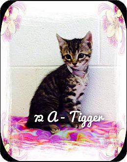 Domestic Shorthair Kitten for adoption in Dillon, South Carolina - Tigger