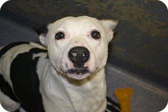 Terrier (Unknown Type, Medium) Mix Dog for adoption in Edwardsville, Illinois - Angel