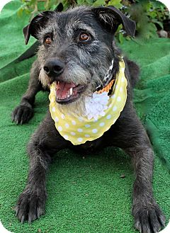 Irish Wolfhound/Terrier (Unknown Type, Medium) Mix Dog for adoption in Van Nuys, California - Daisy