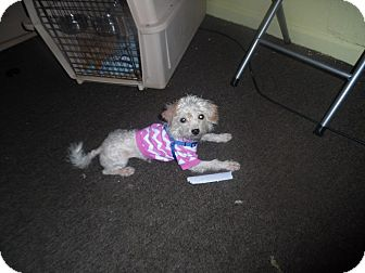 Maltese/Poodle (Miniature) Mix Dog for adoption in Warren, Michigan - Roxi