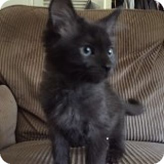 European Burmese Kitten for adoption in Riverside, Rhode Island - Apollo