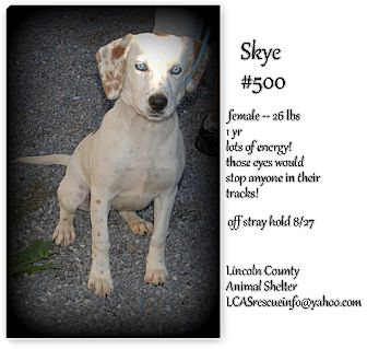 Beagle/Australian Shepherd Mix Dog for adoption in Stanford, Kentucky - Skye