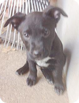 Labrador Retriever Mix Puppy for adoption in Austin, Texas - Puppy Buster