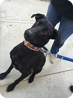 Doberman Pinscher/Labrador Retriever Mix Dog for adoption in Hanna City, Illinois - Forrest