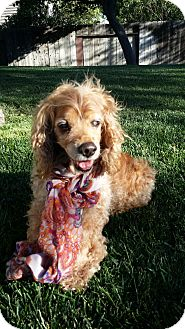 Cocker Spaniel Dog for adoption in Santa Barbara, California - Maddie