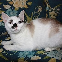 Domestic Shorthair Cat for adoption in Hagerstown, Maryland - Mouse