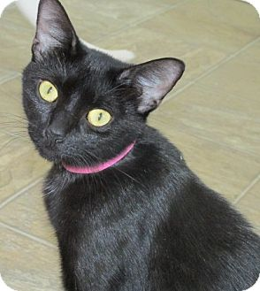 Domestic Shorthair Cat for adoption in Aiken, South Carolina - HELENA