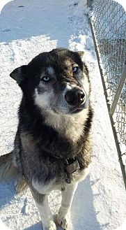 Siberian Husky/Alaskan Malamute Mix Dog for adoption in Tweed, Ontario - Dakota
