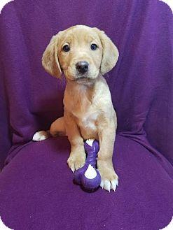 Golden Retriever/Labrador Retriever Mix Puppy for adoption in Elkton, Maryland - Sadie