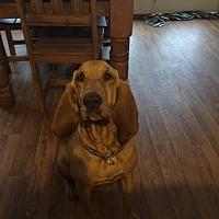 Adopt A Pet :: Sadie - Fayetteville, AR