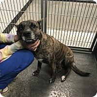 Adopt A Pet :: Dutches - Henderson, NC