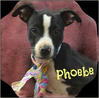 Hound (Unknown Type)/Pit Bull Terrier Mix Puppy for adoption in Jefferson, Georgia - Phoebe