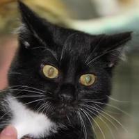 Domestic Shorthair/Domestic Shorthair Mix Cat for adoption in Robinson, Illinois - Sammy