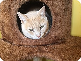 Domestic Shorthair Cat for adoption in Canton, Ohio - Sam, Smokey and Coco