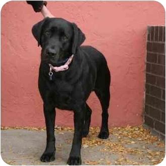 Labrador Retriever Dog for adoption in Denver, Colorado - Mabel