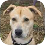 Labrador Retriever Mix Dog for adoption in Eatontown, New Jersey - Dillan