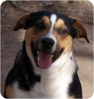 Bernese Mountain Dog/Shepherd (Unknown Type) Mix Dog for adoption in Glenpool, Oklahoma - Maverick