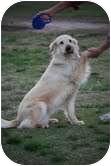 Golden Retriever Dog for adoption in Cranford, New Jersey - Blondie