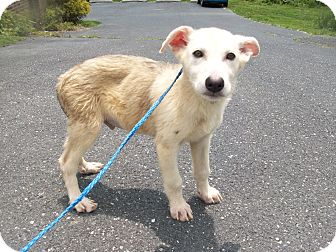 Alaskan Malamute Mix Puppy for adoption in Augusta County, Virginia - Bentley