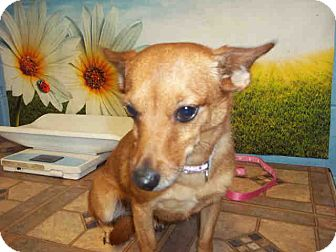 Chihuahua/Terrier (Unknown Type, Small) Mix Dog for adoption in Las Vegas, Nevada - Mia