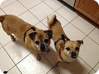 Pug/Dachshund Mix Dog for adoption in Austin, Texas - Mollie