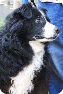 Australian Shepherd/Border Collie Mix Dog for adoption in Bellevue, Nebraska - Lea