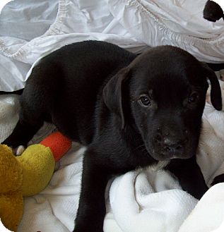 Labrador Retriever/Boxer Mix Puppy for adoption in Leland, Mississippi - DEE DEE