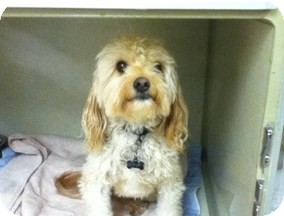 Poodle (Miniature)/Cavalier King Charles Spaniel Mix Dog for adoption in Dallas, Texas - Gunny