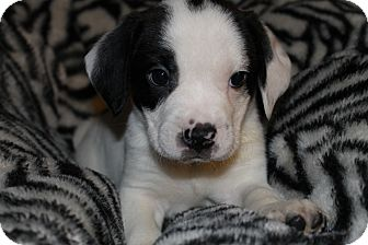 Blue Heeler/Pit Bull Terrier Mix Puppy for adoption in Westminster, Colorado - Ti