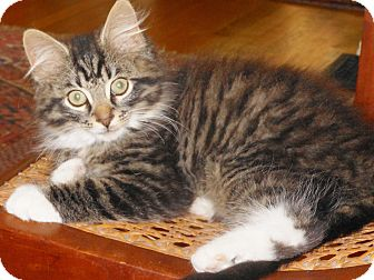Domestic Longhair Kitten for adoption in Cincinnati, Ohio - Leroy