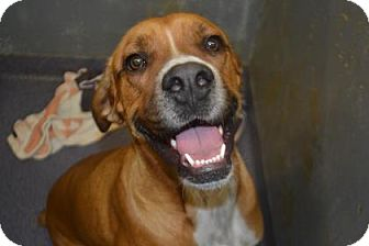 Boxer Mix Dog for adoption in Edwardsville, Illinois - Rocky