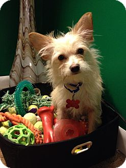 Cairn Terrier/Chihuahua Mix Puppy for adoption in Troy, Michigan - Ralphie