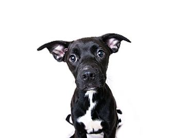 Terrier (Unknown Type, Medium) Mix Puppy for adoption in Wilmington, Delaware - Star