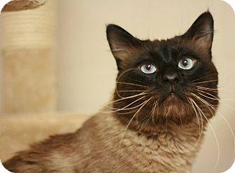 Siamese Cat for adoption in Canoga Park, California - Bonsai