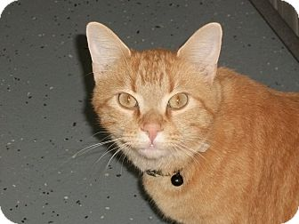 Domestic Shorthair Cat for adoption in Martinsville, Indiana - Auggie