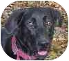 Labrador Retriever Mix Dog for adoption in Eatontown, New Jersey - Molly