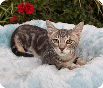 Domestic Shorthair Kitten for adoption in Newport Beach, California - COLIN