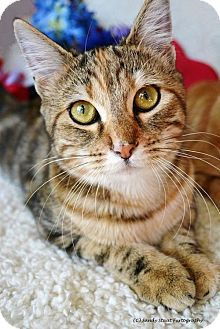 Domestic Shorthair Cat for adoption in East Hartford, Connecticut - Roo (in CT)