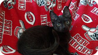 Domestic Shorthair Kitten for adoption in Middletown, Ohio - Page