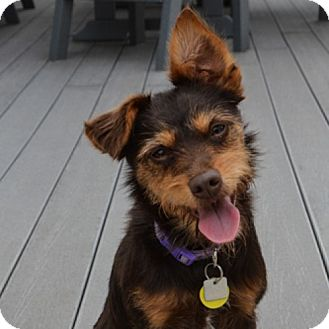 Schnauzer (Miniature)/Terrier (Unknown Type, Small) Mix Dog for adoption in Barrington, Illinois - Tilly