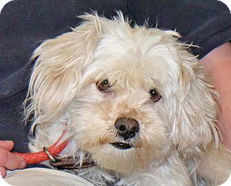 Maltese/Shih Tzu Mix Dog for adoption in Spokane, Washington - Coco