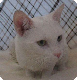 Domestic Shorthair Cat for adoption in Lloydminster, Alberta - Stan