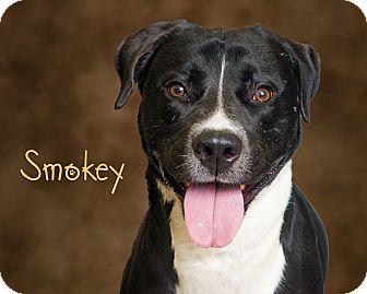 Labrador Retriever/Pit Bull Terrier Mix Dog for adoption in Somerset, Pennsylvania - Smokey