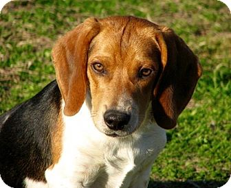 Beagle Mix Puppy for adoption in Nanuet, New York - Sidney