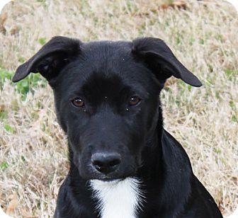 Labrador Retriever Mix Puppy for adoption in kennebunkport, Maine - Owen - in Maine