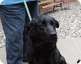 Labrador Retriever Mix Dog for adoption in Sioux City, Iowa - BEAU