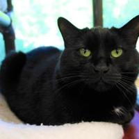 Domestic Shorthair/Domestic Shorthair Mix Cat for adoption in Houghton, Michigan - Mrs. Peacock