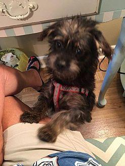 Shih Tzu Mix Dog for adoption in Spartanburg, South Carolina - Mack Nellie in Rocky Mount
