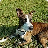 Adopt A Pet :: Miles Arlo - Alpharetta, GA